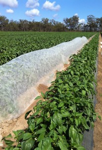 Image credit: Applied Horticultural Research and Ausveg