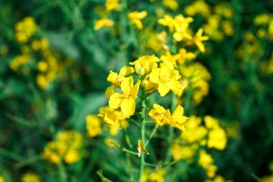 Steve Marsh has lost his case against his neighbour after GM canola contamination