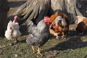 Industry growth forecast for poultry and eggs in Australia