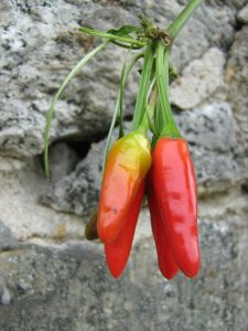 Chilli may help prevent weight gain on high-fat diet