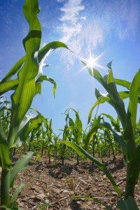 Australian consumers embrace corn, research