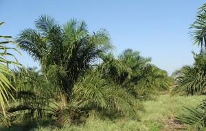 oil-palm-287878_640
